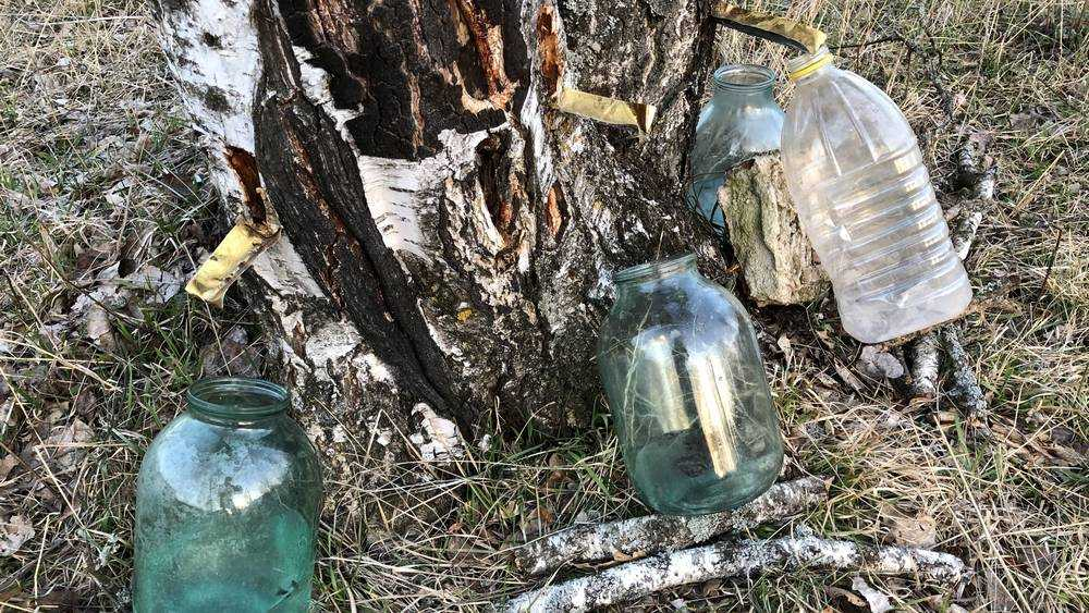 В Брянской области начали собирать березовый сок