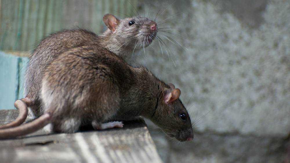 В Володарском районе Брянска полчища крыс начали осаждать многоэтажки