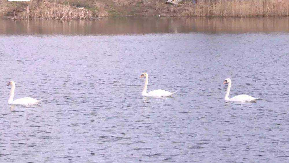 Под Брянском обосновались белые лебеди