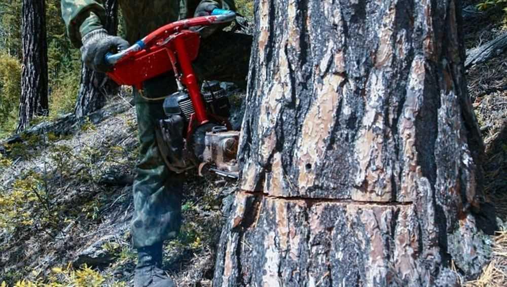 В Злынке за браконьерскую рубку деревьев осудили инспектора лесничества