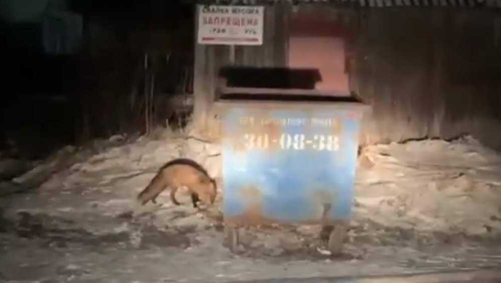 Жителей брянского поселка Белые Берега переполошила странная лиса