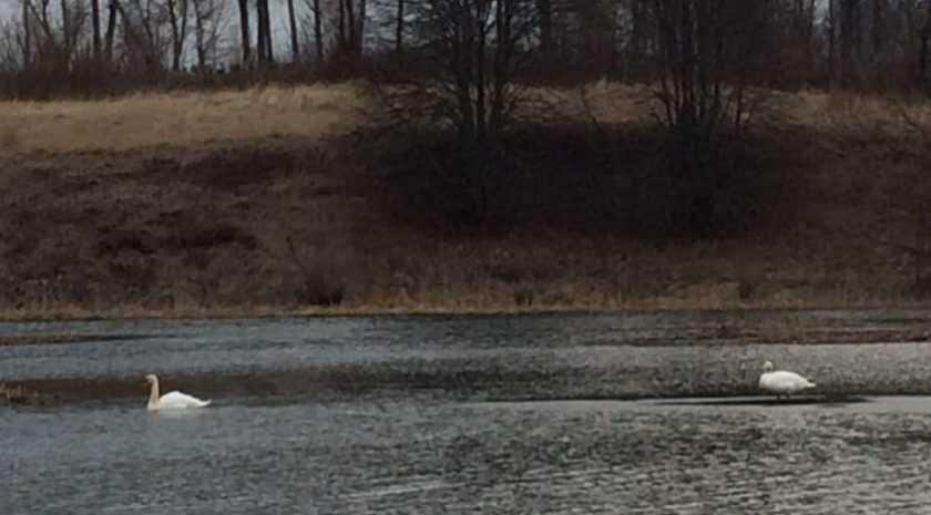 В Брянскую область прилетели лебеди