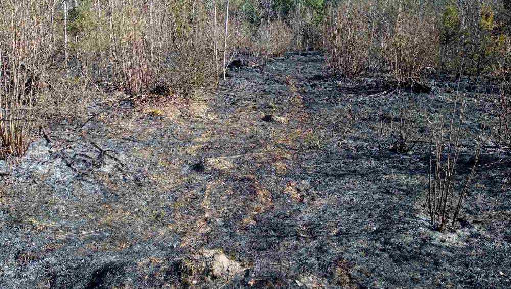В Навлинском районе сгорело полгектара леса