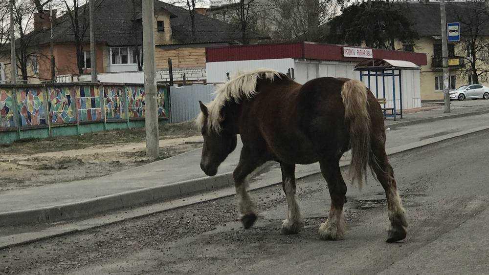 В Брянске жертвами коронавируса стали цыганские лошади