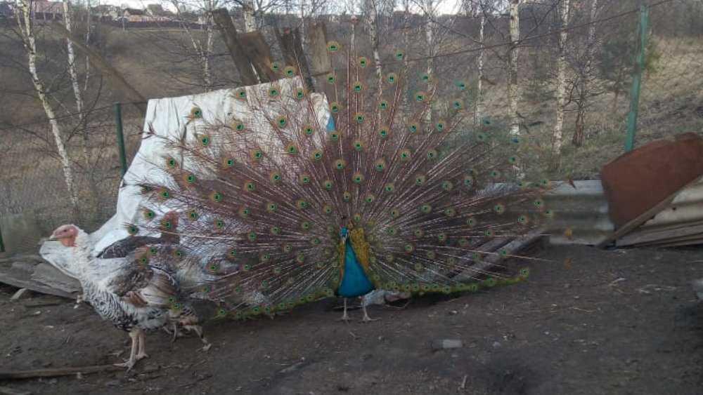 Брянец приютил в своём дворе своенравного павлина Пашку