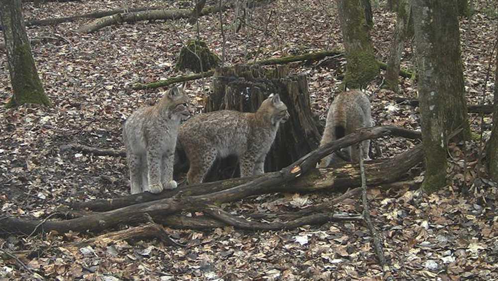 В фотоловушку «Брянского леса» попала известная банда рысей