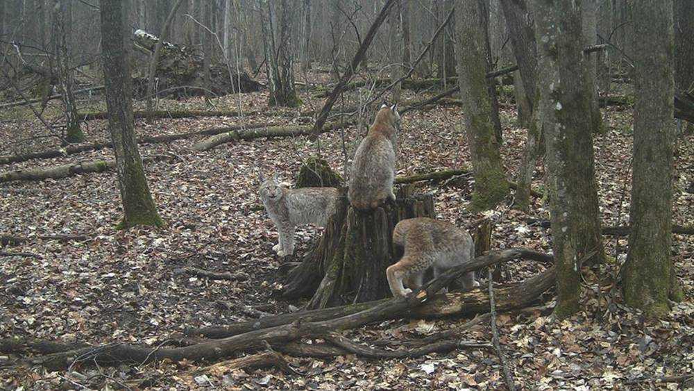 Рыси попали в фотоловушки заповедника «Брянский лес»