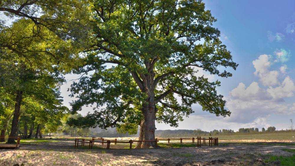 Брянский партизанский дуб может стать деревом года в России