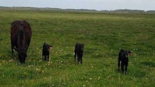 Мать-героиня: брянская корова-рекордсменка отелила сразу трёх телят
