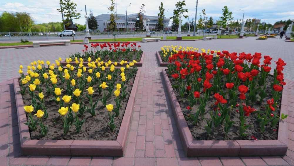 Улицы Брянска украсили распустившиеся тюльпаны
