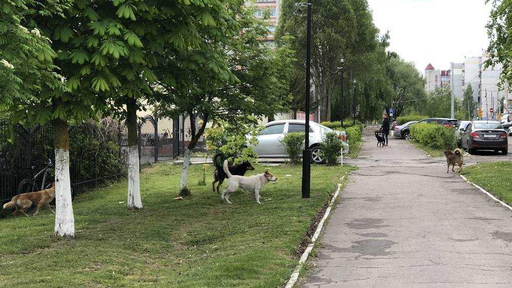 В Брянске большая стая собак отвоевала себе подступы к лицею №1
