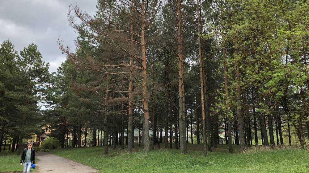 В брянском парке «Соловьи» стали гибнуть сосны