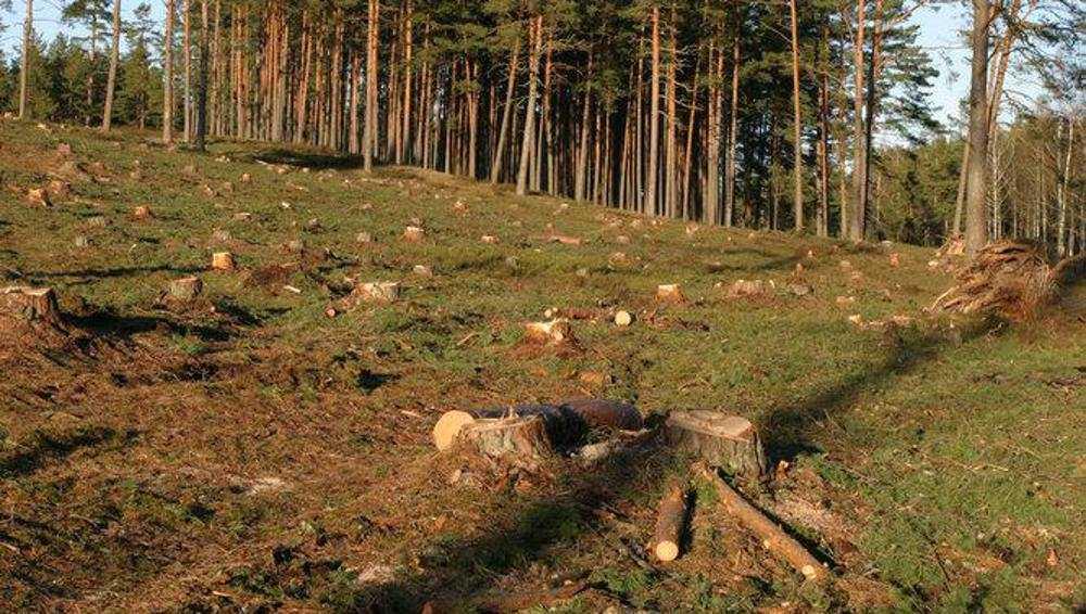 В Навле возбудили уголовное дело в связи с уничтожением сосен