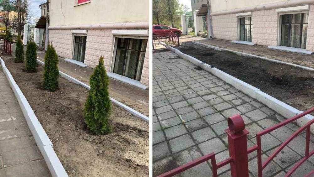 В центре Брянска исчезли высаженные недавно туи