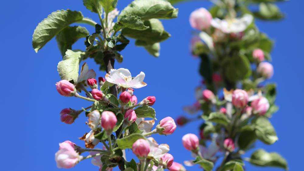 В молодом брянском саду соберут уже 3000 тонн яблок