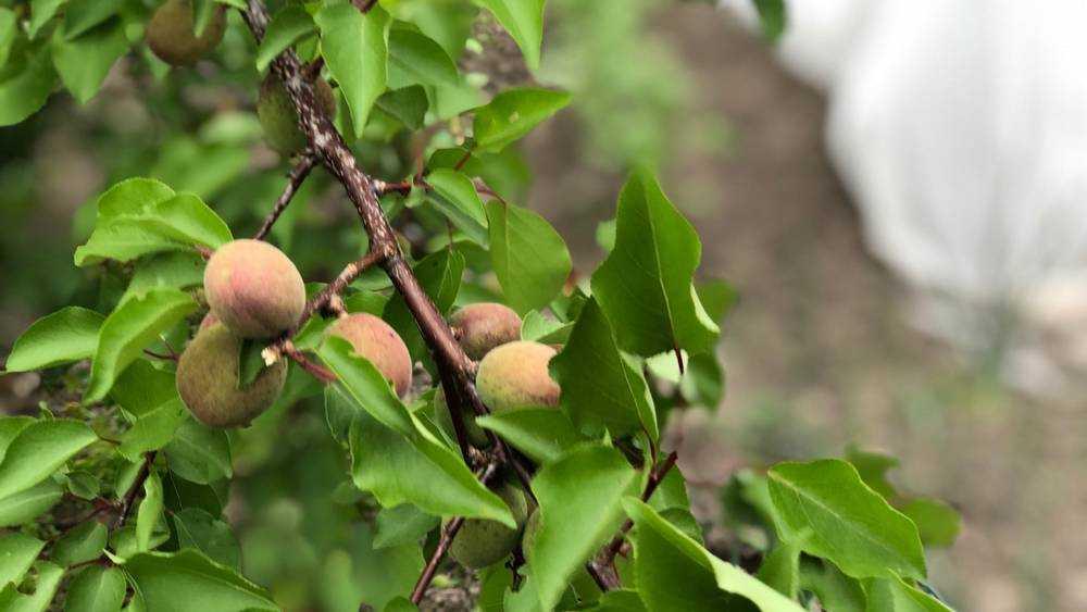 Потепление климата увеличило число брянских абрикосов