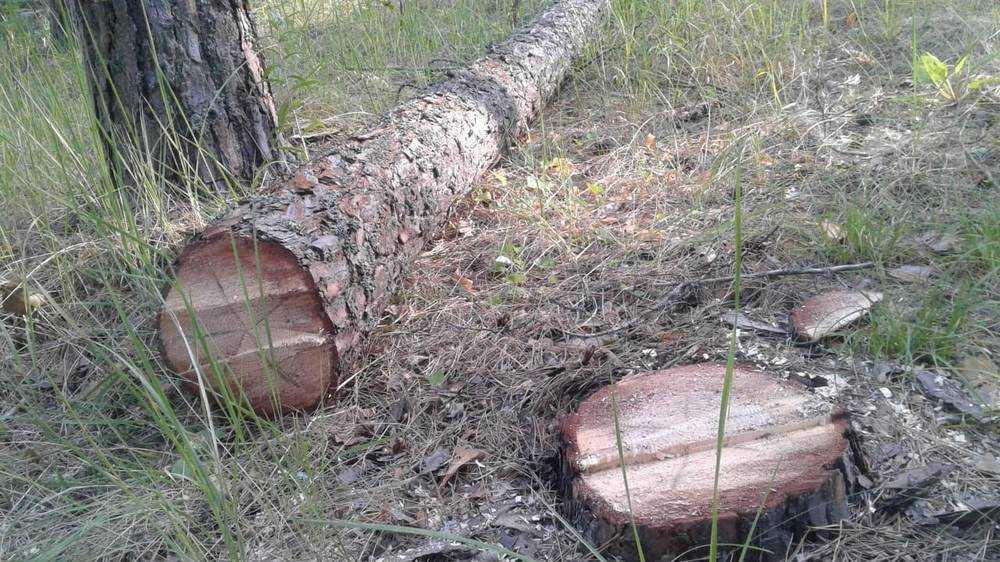 В Кукуевке возмутились уничтожением самого красивого брянского леса