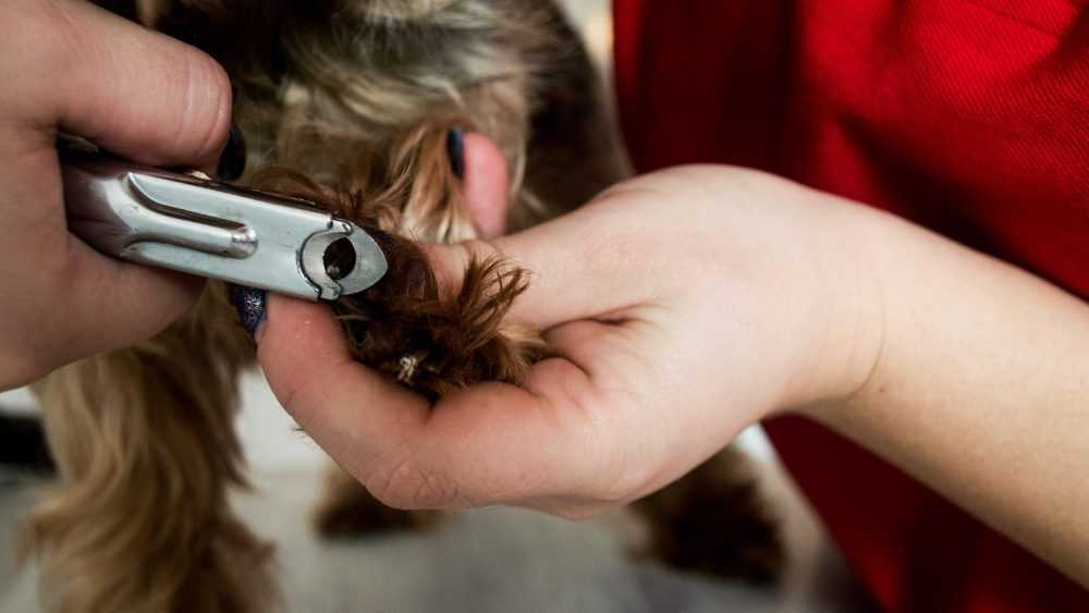 Все о процедуре стрижки когтей у собак