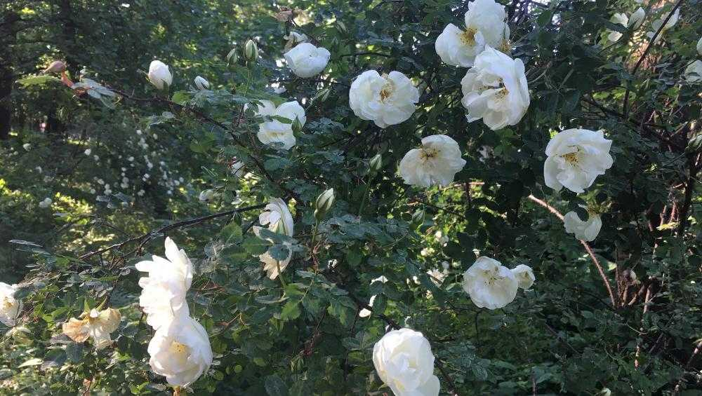 Ботанический сад восхитил брянцев цветущими розами