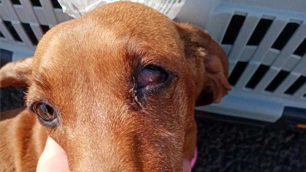 Прокуратура не наказала «Аэрофлот» за ослепшую брянскую собаку