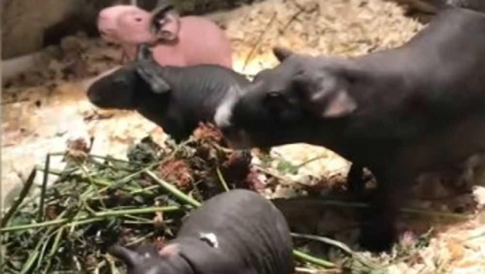 В брянском зоопарке у мини-бегемотиков родилась тройня