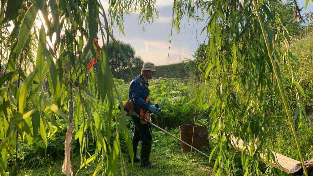 В Брянской области началась битва с коварным растением