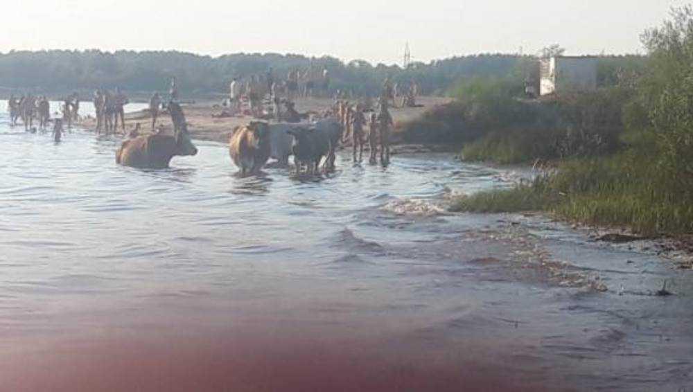 Пляж на озере Орлик в Брянске захватили коровы