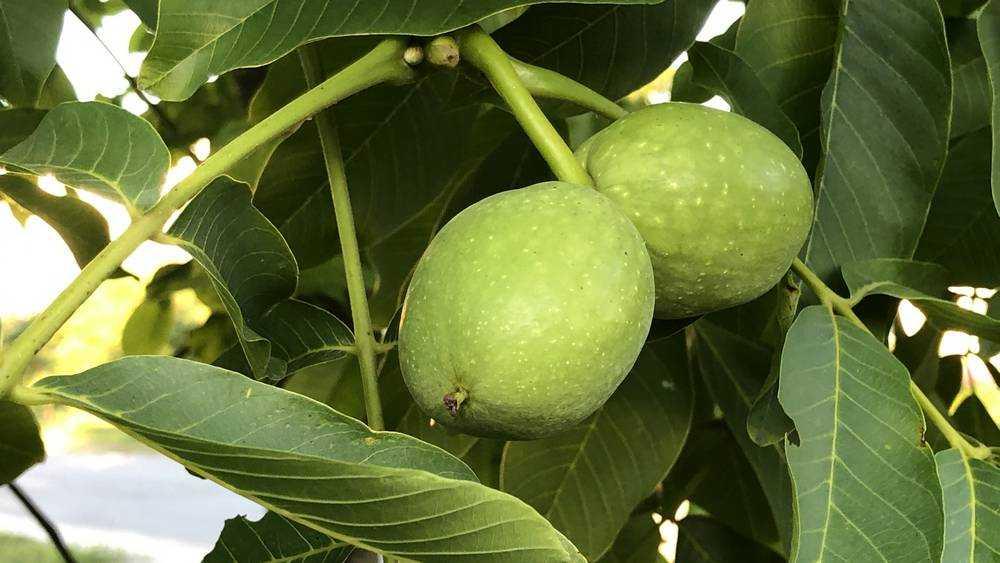 Солнечный Брянск стал городом грецких орехов