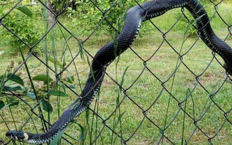 Огромная змея на заборе напугала жителя Брянска