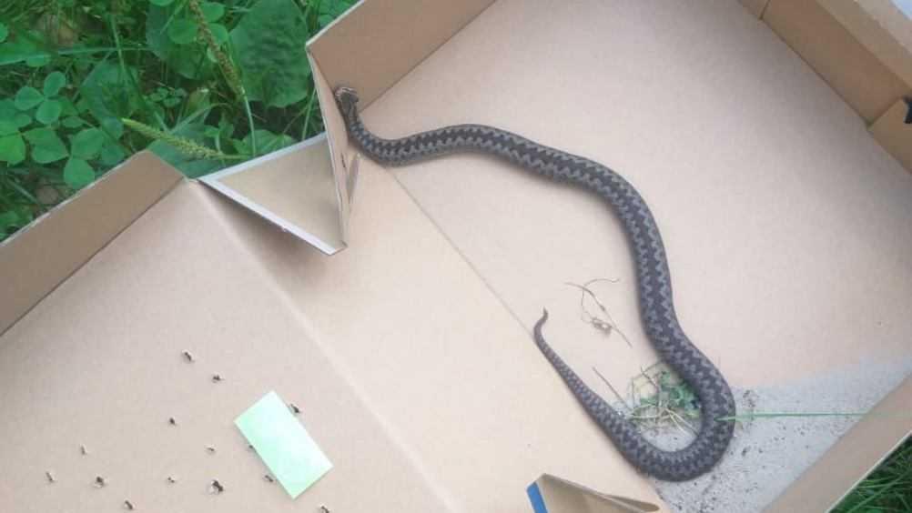 В Дятькове возле жилого дома поймали ядовитую змею