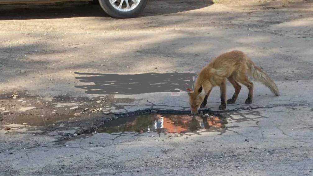 В Брянске возле 51-й школы заметили лисёнка