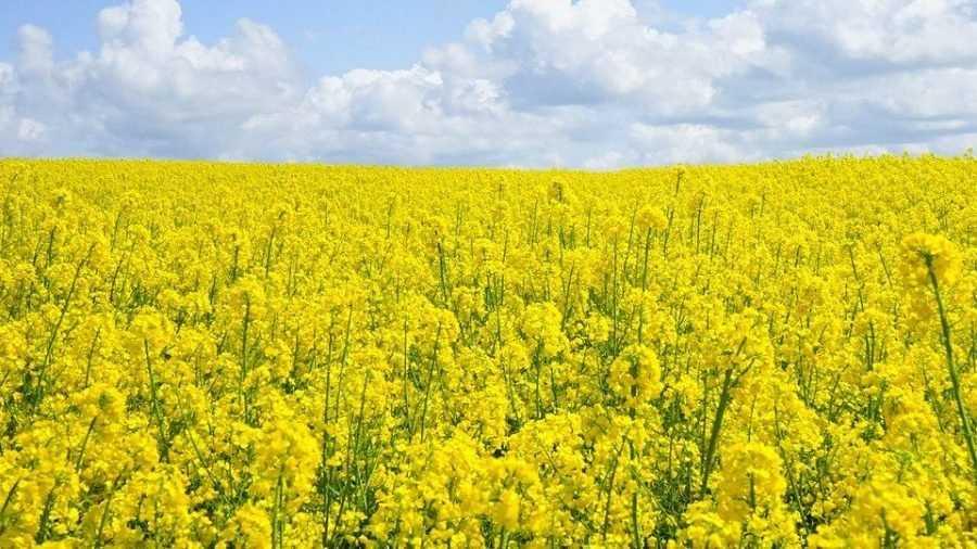 В Брянской области убрали больше половины посевов рапса