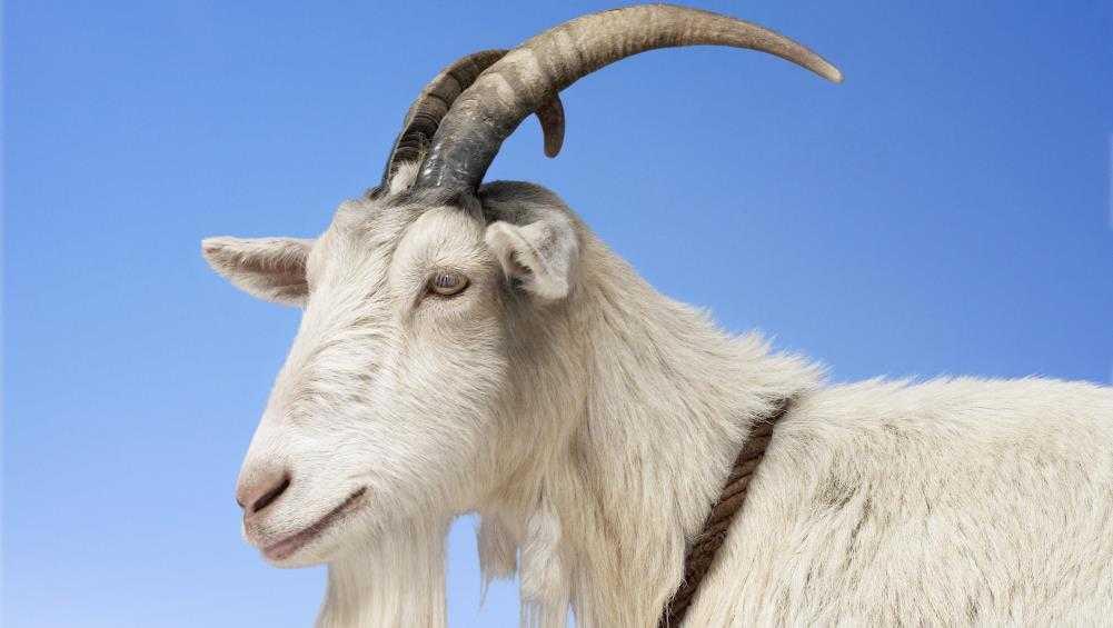 В брянском лесу на жительницу Белых Берегов напал козёл