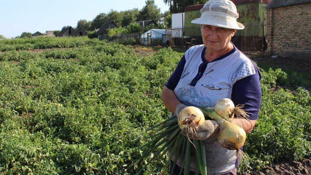 В Брянской области вырастили луковицы весом по килограмму