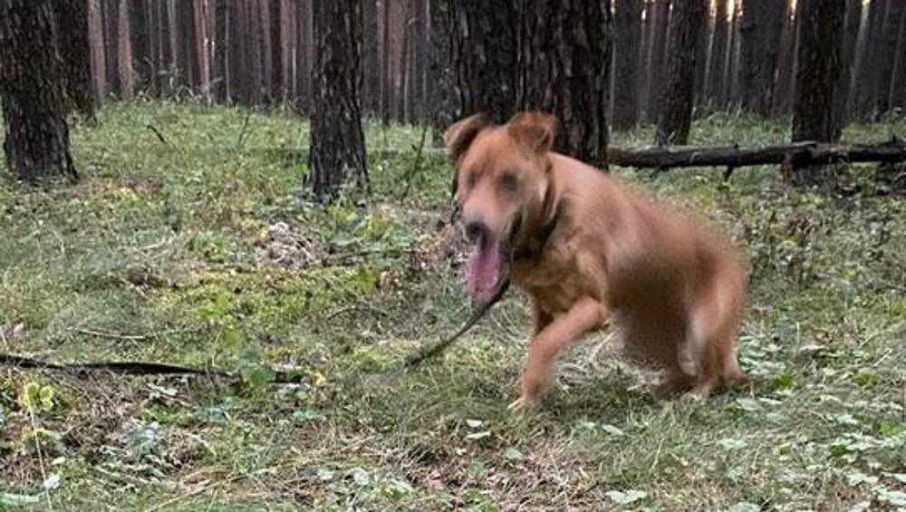 Под Брянском в лесу нашли привязанную к дереву собаку