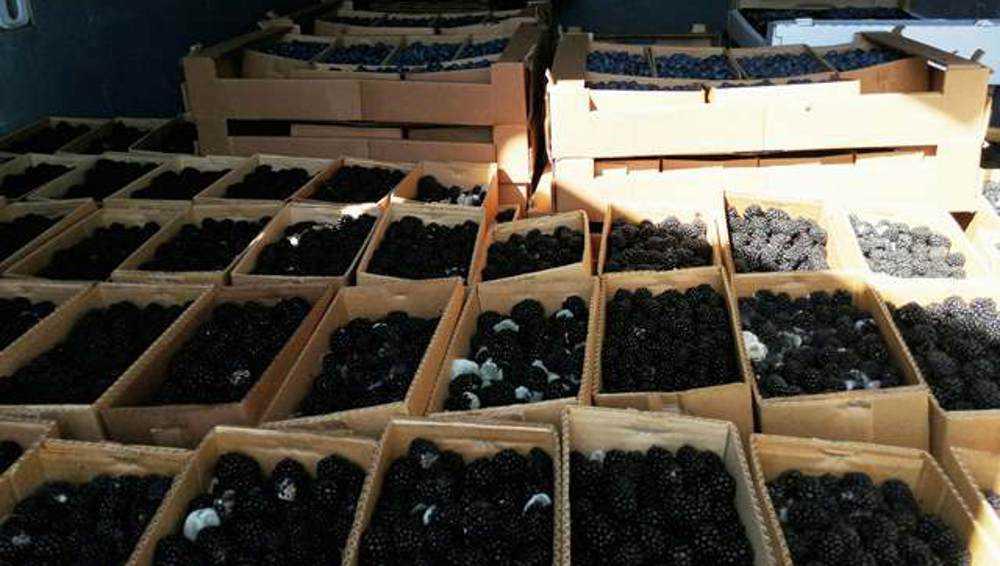 В Брянской области уничтожили полтонны ягод из Белоруссии