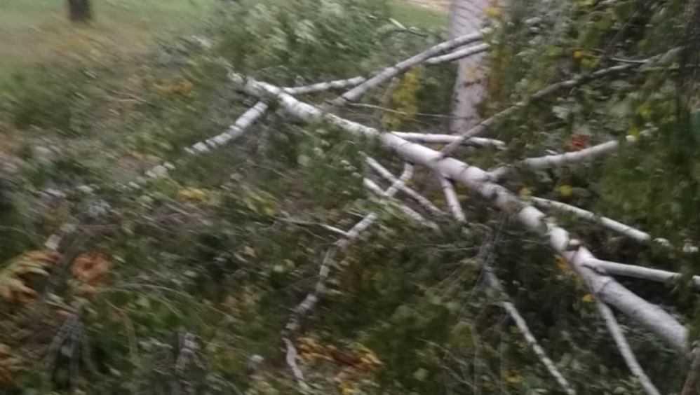 В Брянске во дворе школы №58 сильный ветер повалил два дерева