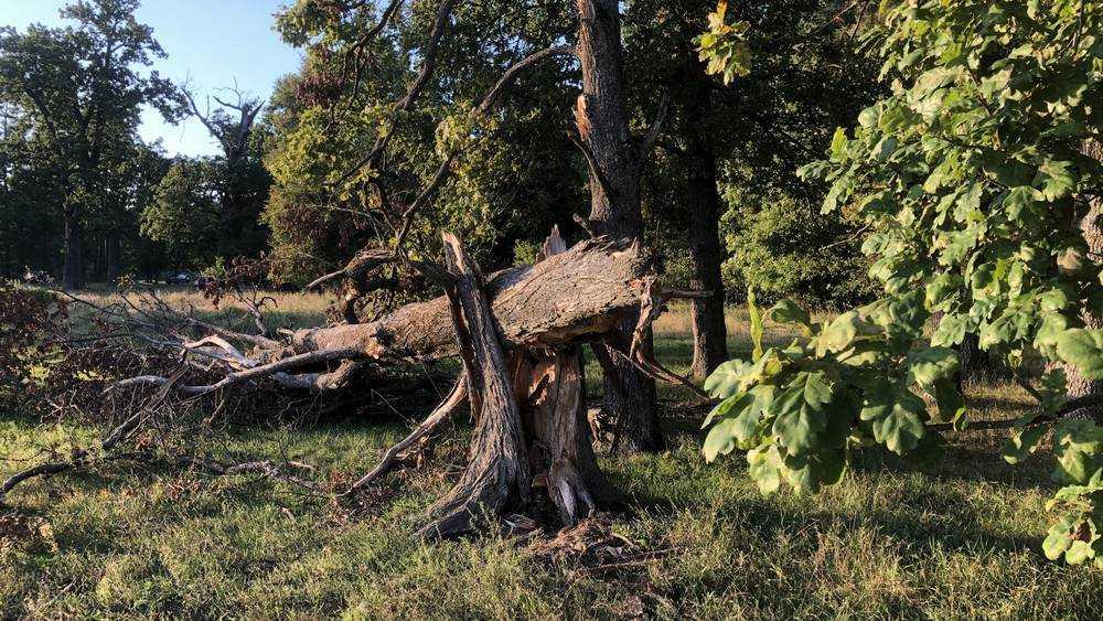 Под Брянском погибли древние дубы