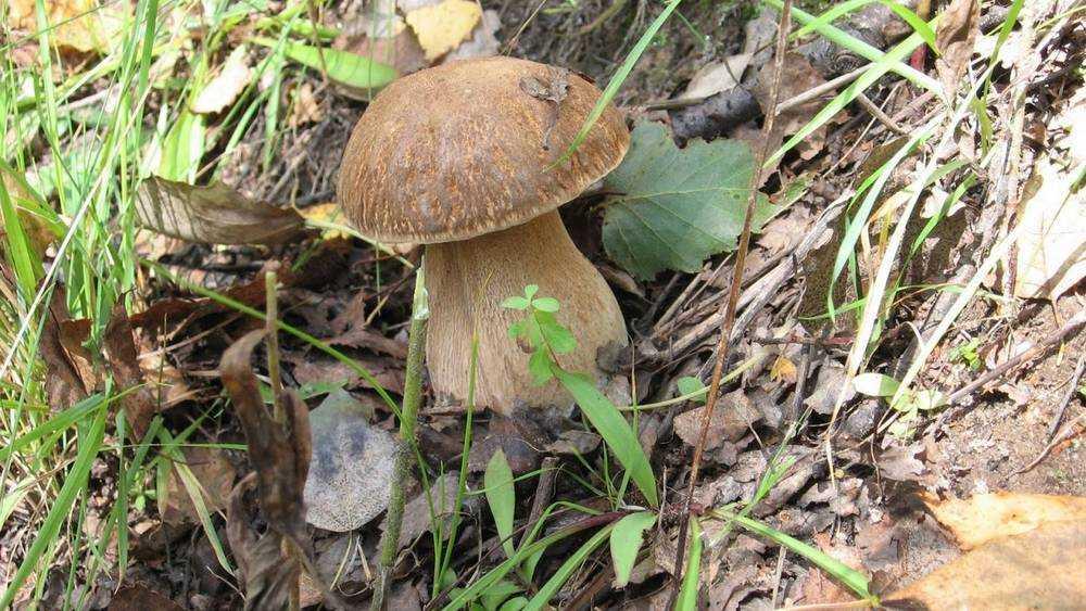 Брянцев напугали новостью об аренде леса для сбора грибов и березового сока