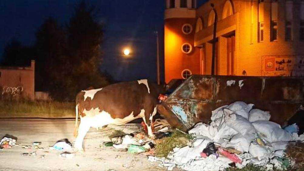 В Бежицком районе Брянска корова поужинала из мусорного контейнера