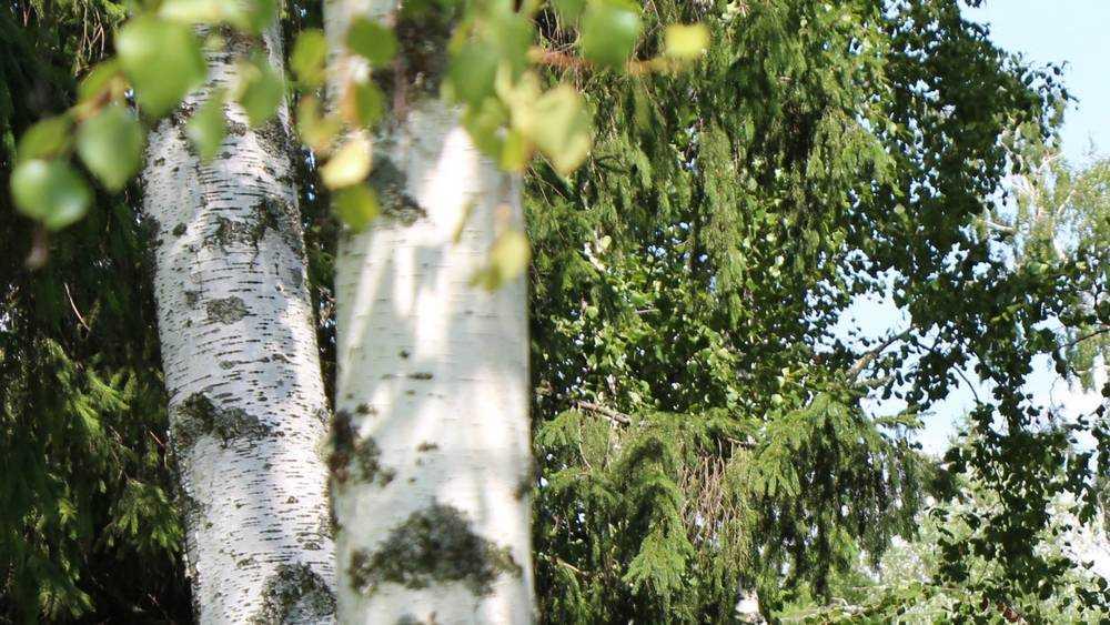 В Брасовском районе на кладбище рухнуло огромное дерево