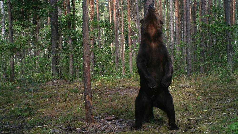 В заповеднике «Брянский лес» выросли медведи-гиганты
