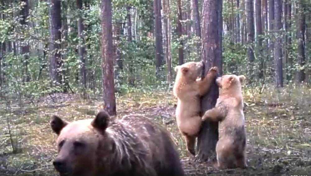 В «Брянском лесу» сняли видео медвежьей семейки «блондина» Арсения