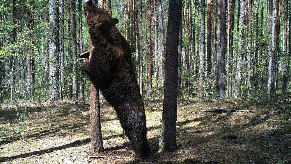 В заповеднике «Брянский лес» завелись медведи-гиганты
