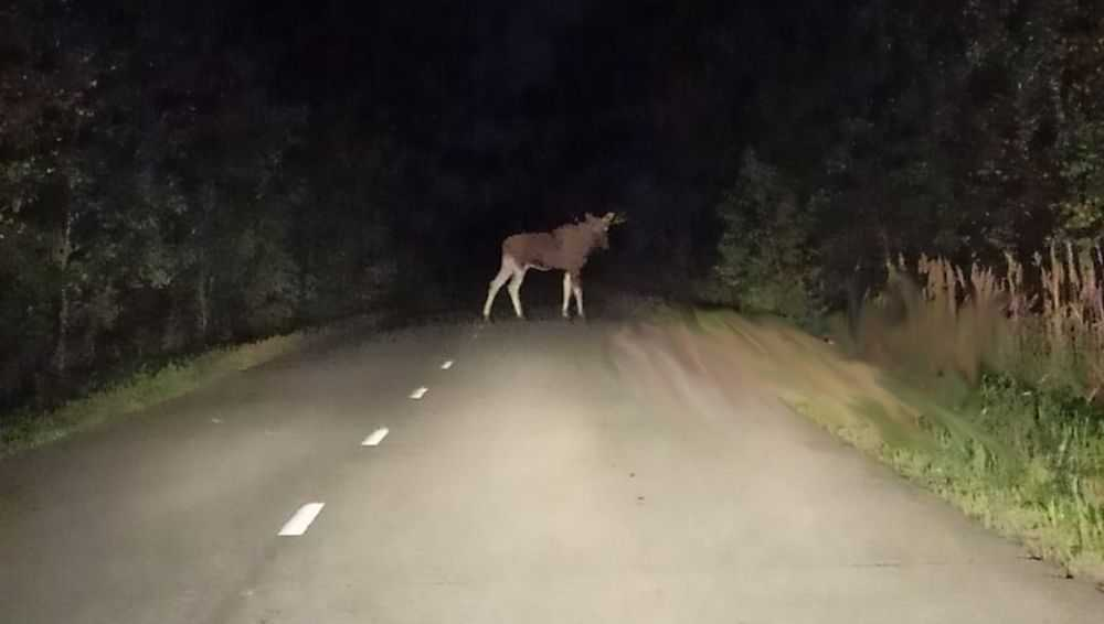 Под Брянском водитель вовремя заметил вышедшего на дорогу лося