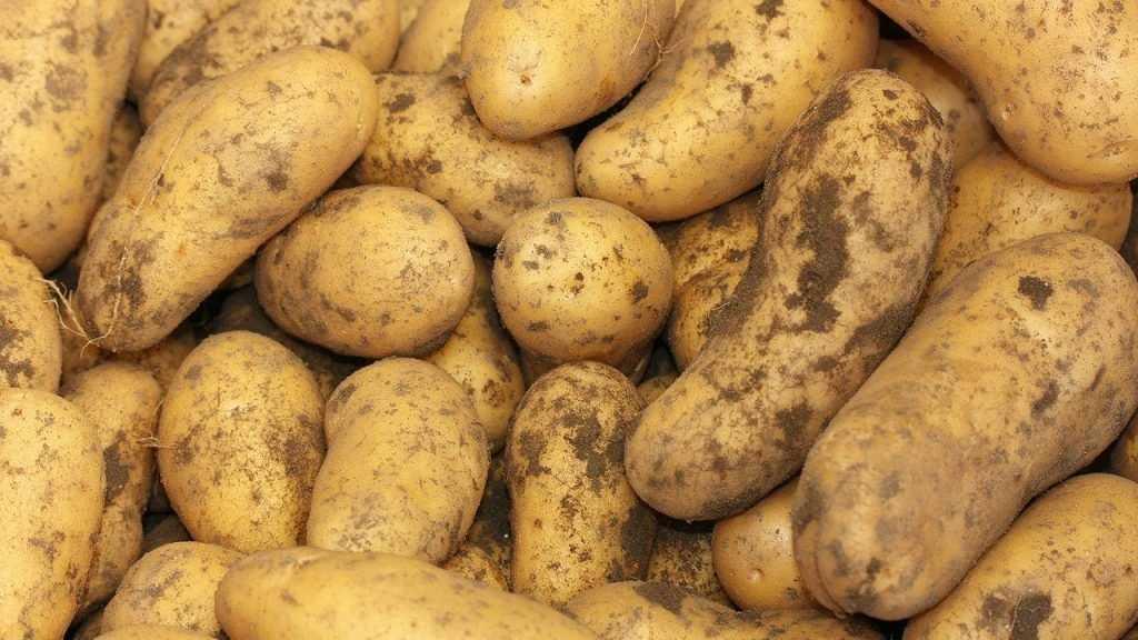 Брянская область в России стала второй по сбору картофеля
