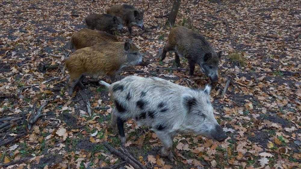 В брянском лесу завелась желудевая банда