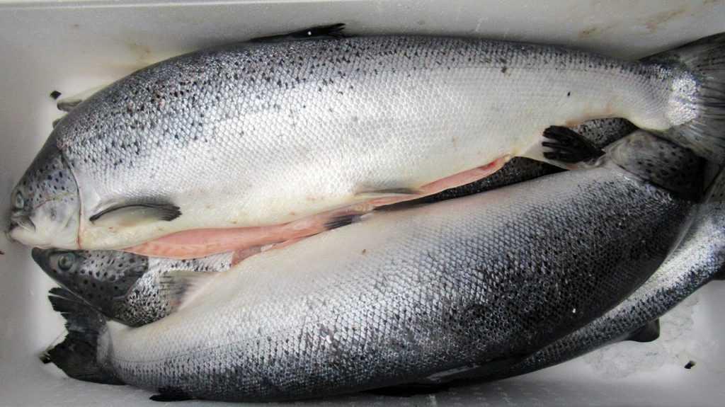Брянская таможня сообщила об уничтожении 2 тонн лосося