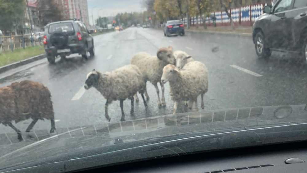 В Брянске бараны на проспекте Станке Димитрова удивили водителей