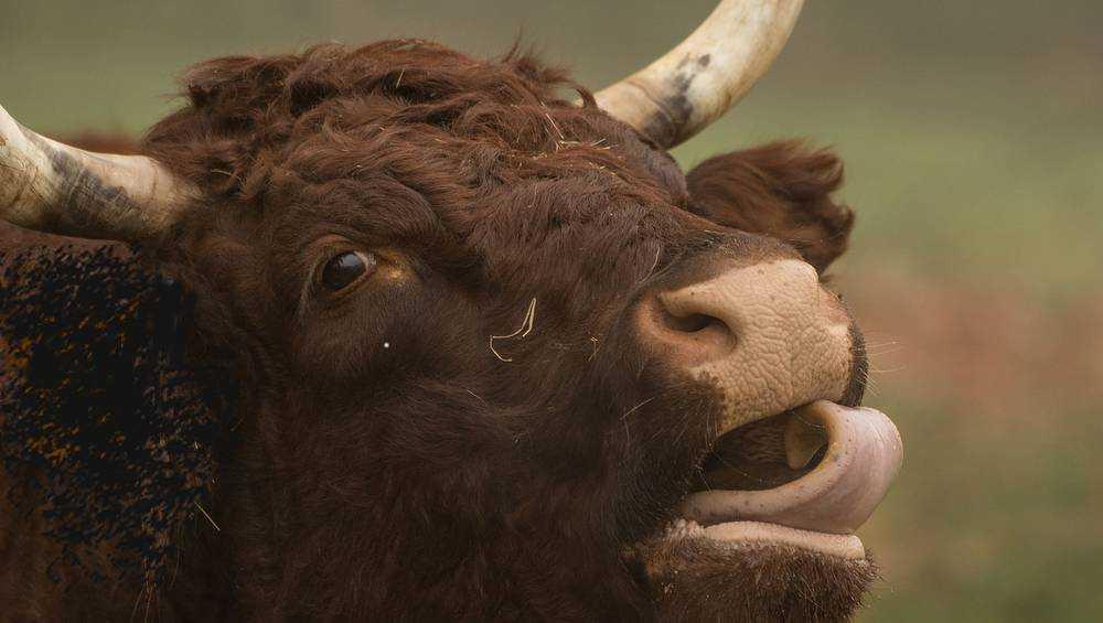 В Брянской области бык Буян убил хозяина